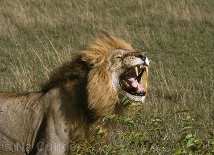 Lev je poľovník