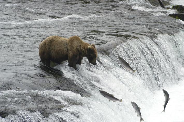 Medvede na rybačke