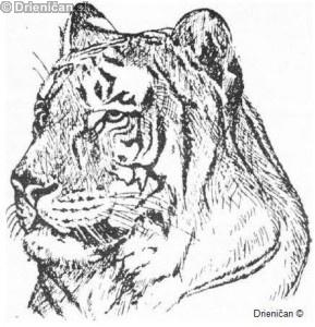 Operácia TIGER